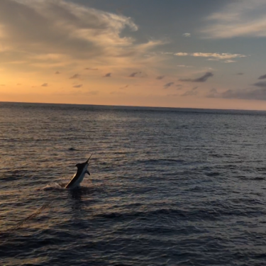marlin at sunset