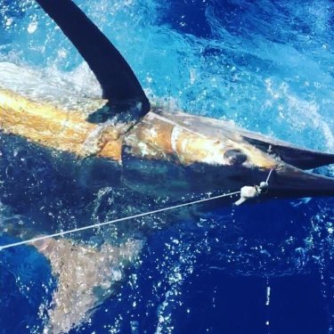 Blue Marlin caught